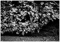 Fern-covered wall, Fern Canyon. Redwood National Park, California, USA. (black and white)