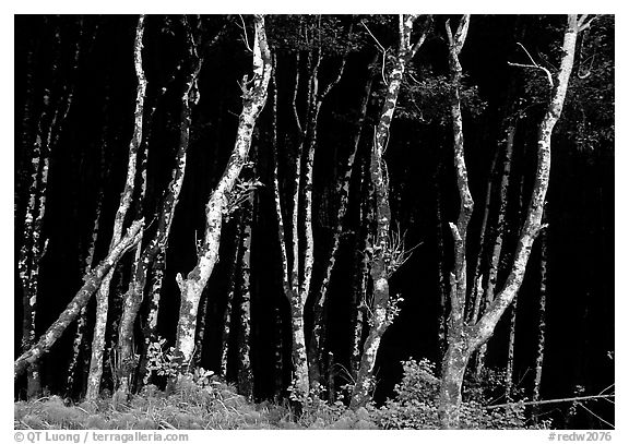 Light Trees near Fern Canyon, Prairie Creek Redwoods State Park. Redwood National Park (black and white)