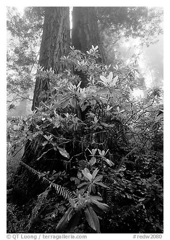 Rododendrons at base of twin redwood trees, Del Norte Redwoods State Park. Redwood National Park (black and white)