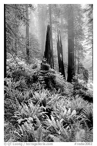 Ferns, burned redwood trees, and fog, Del Norte Redwoods State Park. Redwood National Park (black and white)
