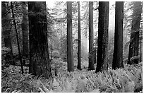 Ferns, redwood forest, and fog, Del Norte. Redwood National Park, California, USA. (black and white)