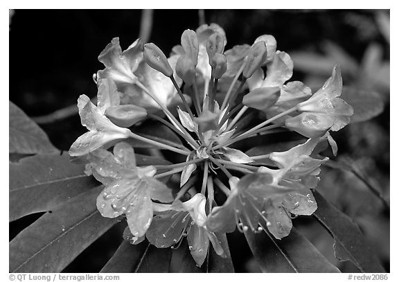 Rhodoendron flower close-up. Redwood National Park (black and white)