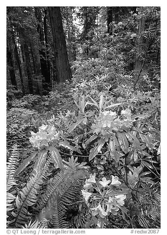 Rhodoendron flowers after  rain, Del Norte Redwoods State Park. Redwood National Park (black and white)
