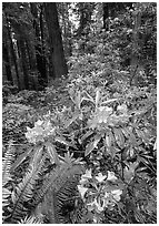 Rhodoendron flowers after  rain, Del Norte Redwoods State Park. Redwood National Park ( black and white)