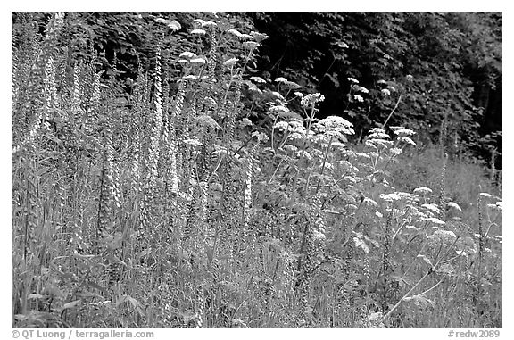 Pink and white wildflowers in meadow. Redwood National Park (black and white)