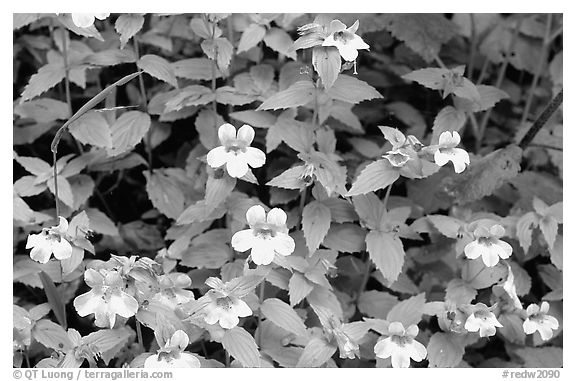 Close-up of yellow wildflowers. Redwood National Park (black and white)