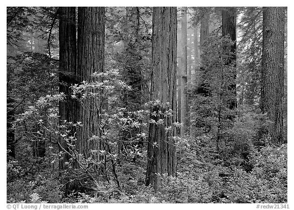 Rododendrons, redwoods, and fog, Del Norte Redwoods State Park. Redwood National Park (black and white)
