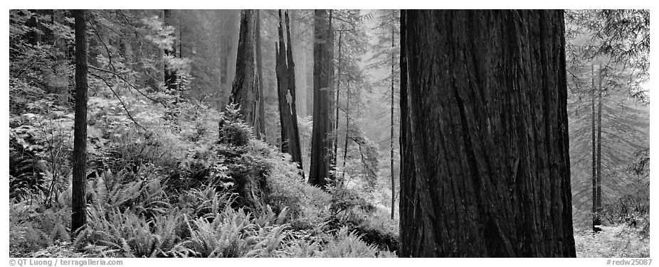 Misty forest and ferns. Redwood National Park (black and white)