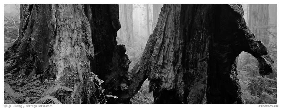 Hollow ancient tree in the fog. Redwood National Park (black and white)