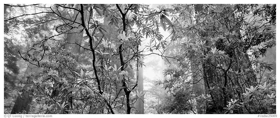 Airy forest scene with rhododendrons. Redwood National Park (black and white)