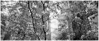 Airy forest scene with rhododendrons. Redwood National Park (Panoramic black and white)