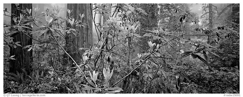 Rhododendrons in misty forest. Redwood National Park (black and white)