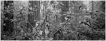 Rhododendrons in misty forest. Redwood National Park (Panoramic black and white)