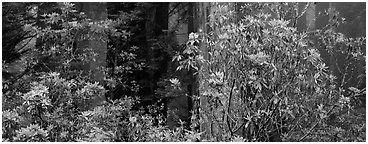 Redwood forest with rhododendrons. Redwood National Park (Panoramic black and white)