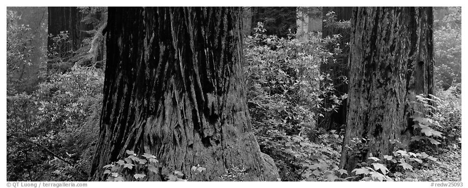 Redwood tree trunks and rhododendrons. Redwood National Park (black and white)
