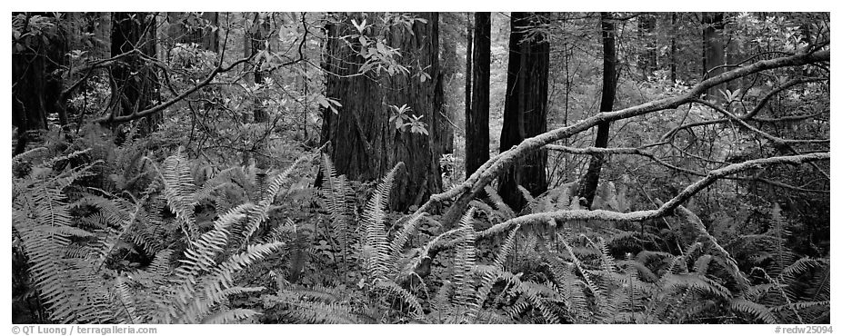 Forest in spring with ferns, redwoods, and rhododendrons. Redwood National Park (black and white)