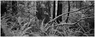 Forest in spring with ferns, redwoods, and rhododendrons. Redwood National Park (Panoramic black and white)
