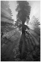 Sunrays in fog. Redwood National Park, California, USA. (black and white)