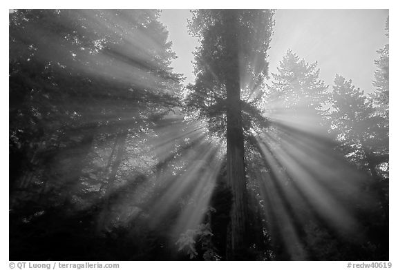 God's rays in redwood forest, Del Norte Redwoods State Park. Redwood National Park (black and white)
