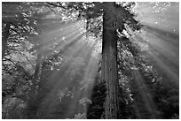 Sun rays diffused by fog in redwood forest. Redwood National Park, California, USA. (black and white)
