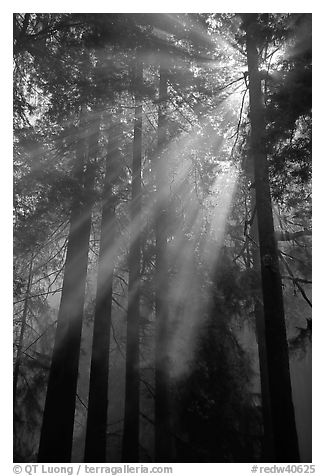 Redwood forest and sun rays, Del Norte Redwoods State Park. Redwood National Park (black and white)