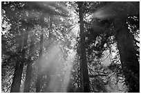 Tall redwood trees and backlit sun rays. Redwood National Park, California, USA. (black and white)
