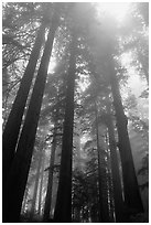 Tall redwood trees in fog, Lady Bird Johnson grove. Redwood National Park ( black and white)