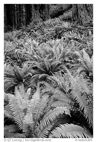 Pacific sword ferns and redwood trees, Prairie Creek Redwoods State Park. Redwood National Park (black and white)