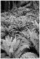 Pacific sword ferns and redwood trees, Prairie Creek. Redwood National Park, California, USA. (black and white)