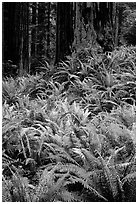 Dense pacific sword ferns and redwoods, Prairie Creek. Redwood National Park, California, USA. (black and white)