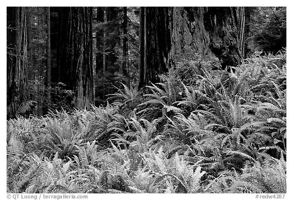 Pacific sword ferns in redwood forest, Prairie Creek Redwoods State Park. Redwood National Park (black and white)