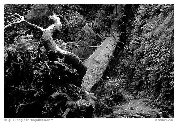 Fallen tree across Fern Canyon, Prairie Creek Redwoods State Park. Redwood National Park (black and white)
