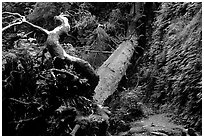Fallen tree across Fern Canyon. Redwood National Park, California, USA. (black and white)