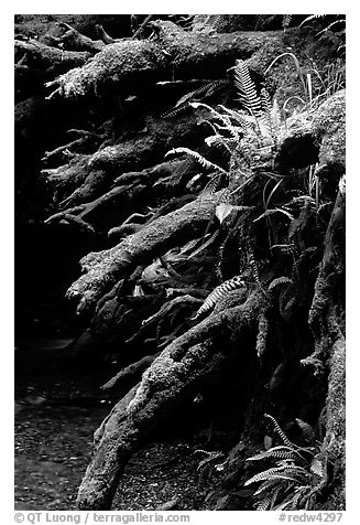 Roots of fallen tree, Prairie Creek Redwoods State Park. Redwood National Park (black and white)