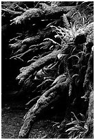Roots of fallen tree, Prairie Creek Redwoods State Park. Redwood National Park ( black and white)