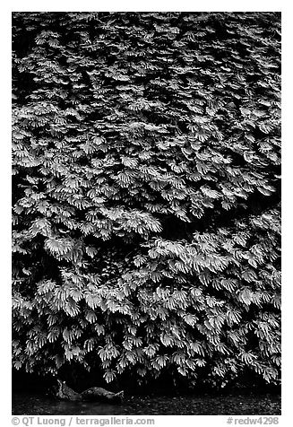 Ferns covering steep wall, Fern Canyon, Prairie Creek Redwoods State Park. Redwood National Park (black and white)