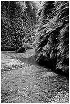 Stream and walls covered with ferns, Fern Canyon. Redwood National Park, California, USA. (black and white)