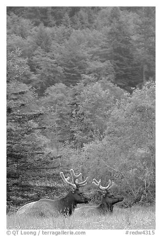 Bull Roosevelt Elks in meadow, Prairie Creek Redwoods State Park. Redwood National Park (black and white)