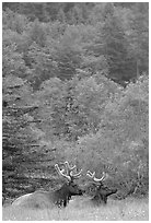 Bull Roosevelt Elks in meadow, Prairie Creek. Redwood National Park, California, USA. (black and white)