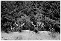 Herd of Bull Roosevelt Elks, Prairie Creek. Redwood National Park, California, USA. (black and white)