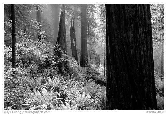 Ferns and redwoods in mist, Del Norte Redwoods State Park. Redwood National Park (black and white)