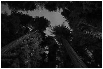 Redwood grove and stary sky at night, Jedediah Smith Redwoods State Park. Redwood National Park ( black and white)