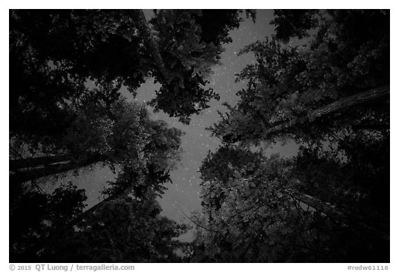 Looking up redwood trees at night, Jedediah Smith Redwoods State Park. Redwood National Park (black and white)