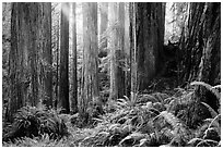 Sunlight in lowland redwood forest, Jedediah Smith Redwoods State Park. Redwood National Park ( black and white)