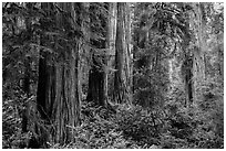 Lush lowland redwood forest, Jedediah Smith Redwoods State Park. Redwood National Park ( black and white)