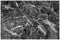 Ground close-up with fallen redwood branches and needles, Jedediah Smith Redwoods State Park. Redwood National Park ( black and white)