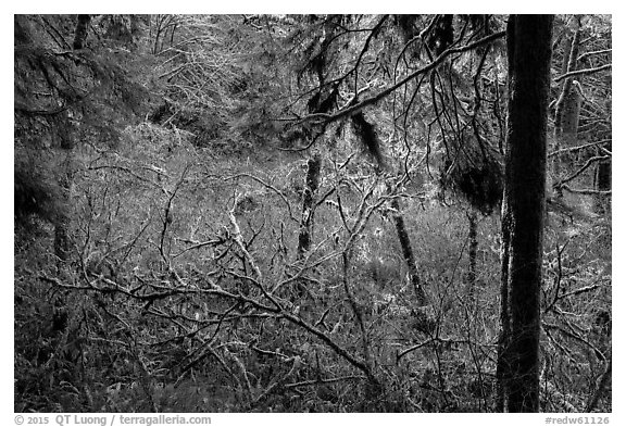Mixed forest, Jedediah Smith Redwoods State Park. Redwood National Park (black and white)