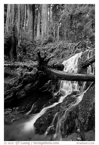 Fern Falls and redwood trees, Jedediah Smith Redwoods State Park. Redwood National Park (black and white)