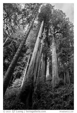Looking up hillside with tall redwoods, Jedediah Smith Redwoods State Park. Redwood National Park (black and white)
