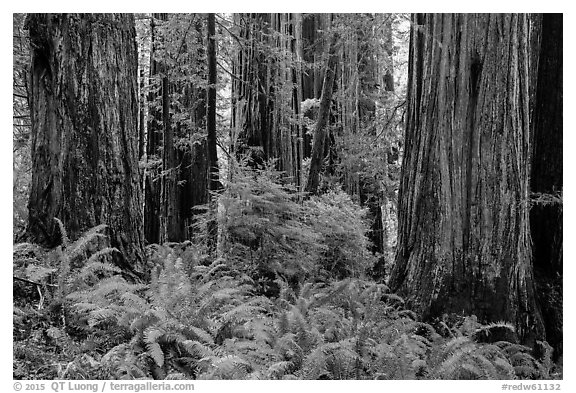 Ferns and trunks of giant redwood trees, Jedediah Smith Redwoods State Park. Redwood National Park (black and white)